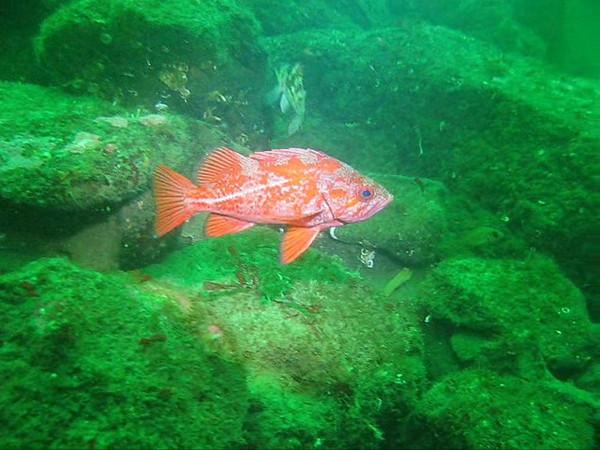 Video clips of Vermilion Rockfish Vermilion Rockfish