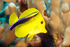 yellow tang or lau'ipala ( Hawaiian ), Zebrasoma flavescens, is cleaned by Hawaiian cleaner wrasse, Labroides phthirophagus, Big Island of Hawaii ( Central Pacific Ocean )<br /> <br /> 2