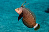 Rockmover wrasse, Novaculichthys   taeniourus, adult, Kona, Hawaii ( Central Pacific Ocean )