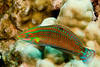 ornate wrasse or 'ohua ( H ), Halichoeres ornatissimus, Kona, Hawaii ( Central Pacific Ocean )