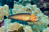 Male psychedelic wrasse, Anampses chrysocephalus, an endemic Hawaiian fish, Kona, Hawaii ( Central Pacific Ocean )