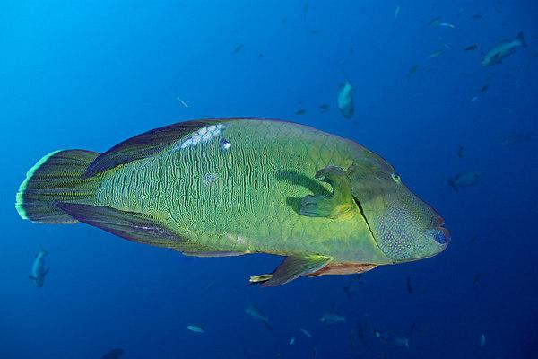 Hamilton, a resident giant humphead wrasse, Napoleon wrasse,or Maori wrasse, Cheilinus undulatus, on Shark Reef Marine Reserve, Beqa Passage, Viti Levu, Fiji, South Pacific Ocean
