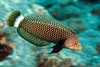 Rockmover wrasse, Novaculichthys   taeniourus, adult, Kona, Hawaii ( Central Pacific Ocean )
