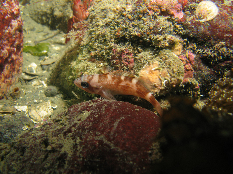 Most likely Juvenile Puget Sound Rockfish