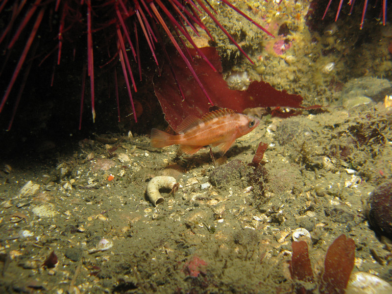 Most likely Juvenile Puget Sound Rockfish
