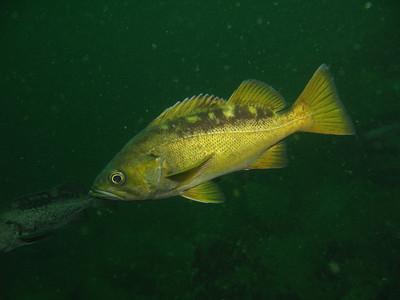 Yellowtail Rockfish