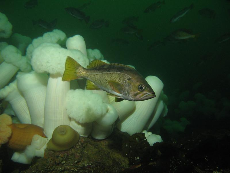 Yellowtail Rockfish - Sebastes flavidus  - ©2012 Janna Nichols