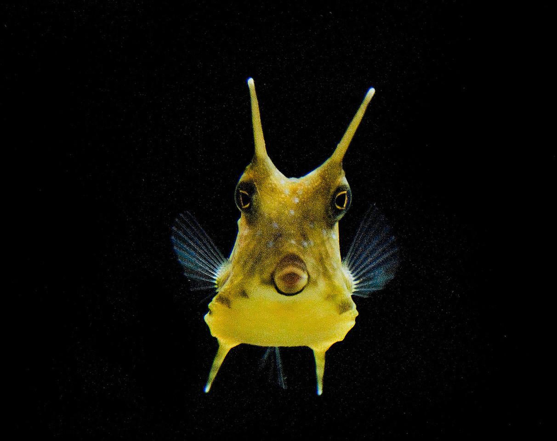 Long Horn fish.:  Adorable species