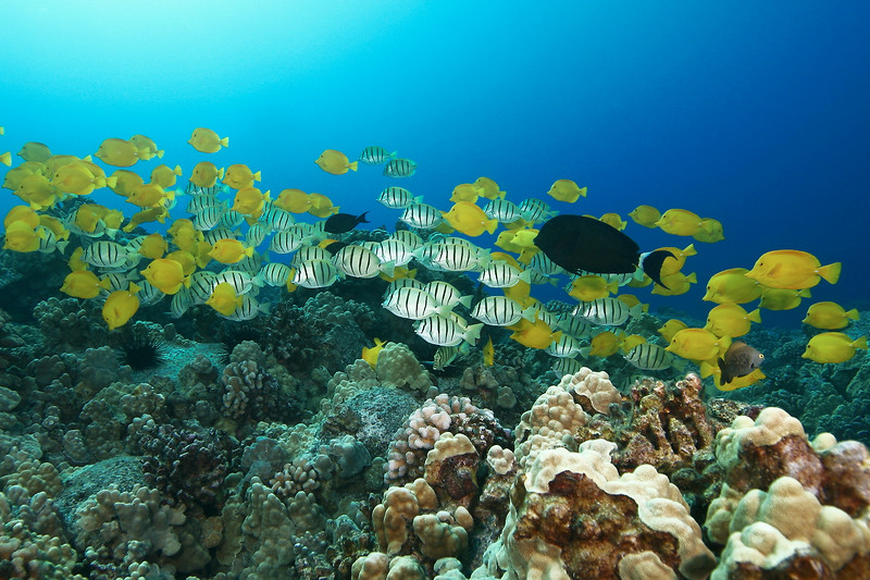 A cloud of yellow tang, zebrasoma flavescens, and convict tang, acanthurus triostegus, on a hard coral reef in Kona, Hawaii, Big Island, Pacific