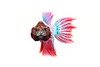 Plakat Betta (male) - Siamese Fighting Fish