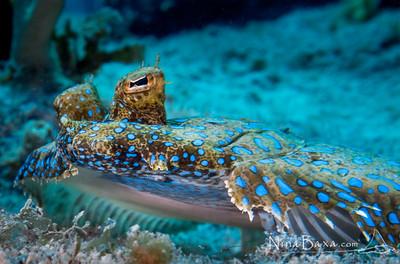 Peacock Flounder - Cayman.