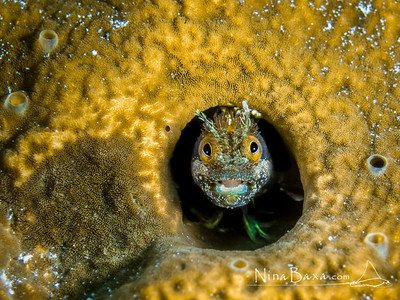 Rough-head Blenny - Cayman.