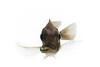 African Cichlid - Otopharynx Lithobate (Female)