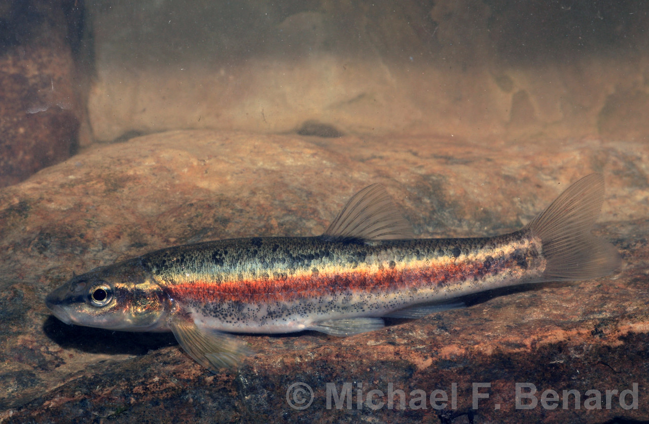 Male Blacknose Dace
