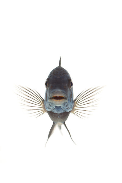 African Cichlid - (Blue-Faced) Duboisi