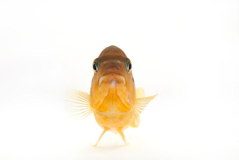 African Cichlid - Male Kenyi