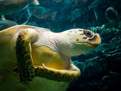 Loggerhead Turle. Atlanta Aquarium