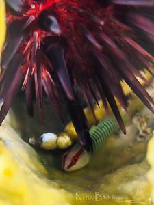 GreenBanded Goby under Rock Urchin. Grand Cayman.