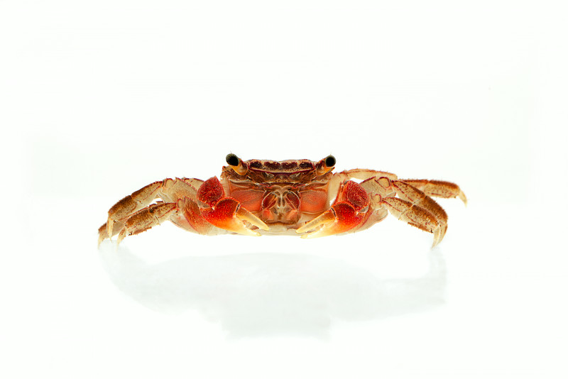 "Perisesarma bidens - ""The red-clawed crab"""