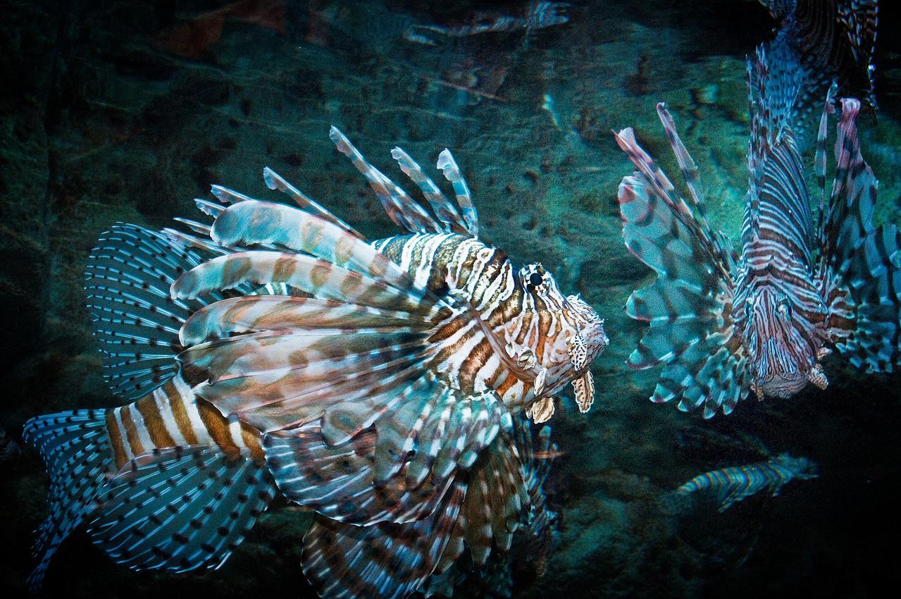 Lion fish:. Poisonous