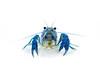 """Procambarus alleni """"Blue Crayfish"""""""