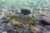 Fishes, brown trout, underwater