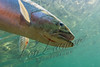 Fishes, live fish, trout, cutthroat trout