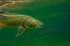 Fishes, live fish, trout, bull  trout