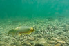 Fishes, westslope cutthroat trout, underwater