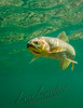 Animals, fishes, westslope cutthroat trout