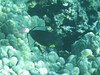 Pinktail triggerfish (<i>Melichthys vidua</i>).  Kealakekua Bay, November 2009.