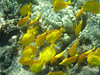Yellow tangs (<i>Zebrasoma flavescens</i>) having lunch.  Kealakekua Bay, November 2009.