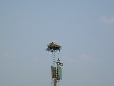 A Raptor Nests on Ft Loudon