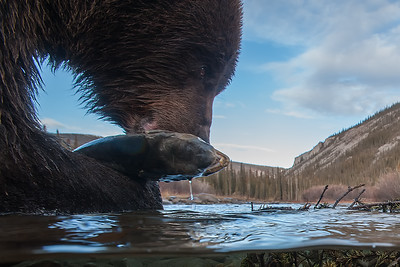 Chum Salmon and Grizzly Bears in Fishing Branch Park, Yukon, Canada. Known as ice bears, because they fish for salmon in early winter and get covered in icicles. Bear Cave Mountain eco-tours. The salmon have migrated over 1500 miles up the Yukon, Porcupine and Fishing Branch River.