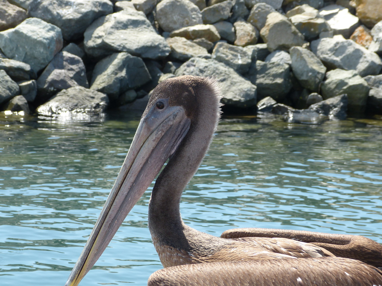 juvenile brown pelican -- as they mature, their head feathers turn white