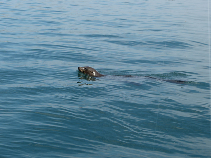 We were being chased all over by this thieving seal.  She would swim a ways, and poke her head up to take a bead on us, dive and swim toward us again.  Once she got close enough -- zip!  One, two, three bites, three bodiless sardines!