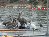 nice catch, Egret  --  oops!  That's just a cormorant's head peeking up behind the bait barge.