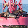 although we do sometimes see seals on the green buoys, for some reason they tend to like the red buoys better.....<br /> <br /> Now they are settled back down; all ladies on this bouy  (I like that one giving herself a little skritch on the neck with her hind flipper)