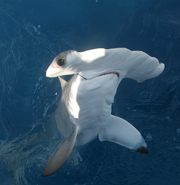 This was the one hammerhead that we did get to the boat and he was about 100 pounds.