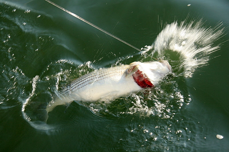 This was a nice fish.  He fought hard right to the boat.  He also took off like a rocket when we released him.