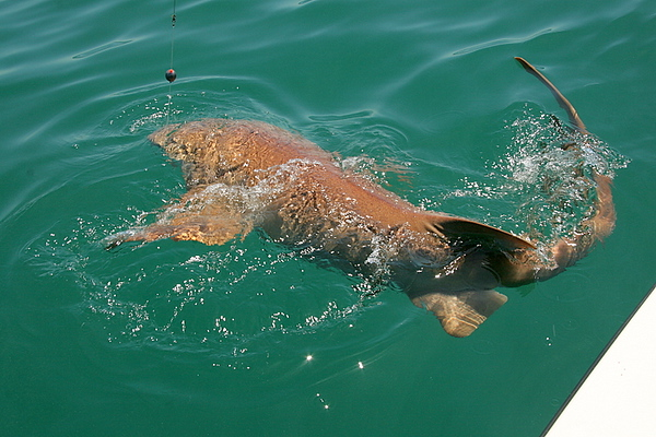We had some fun catching some big sharks. This is a big nurse shark I estimate went about 250.