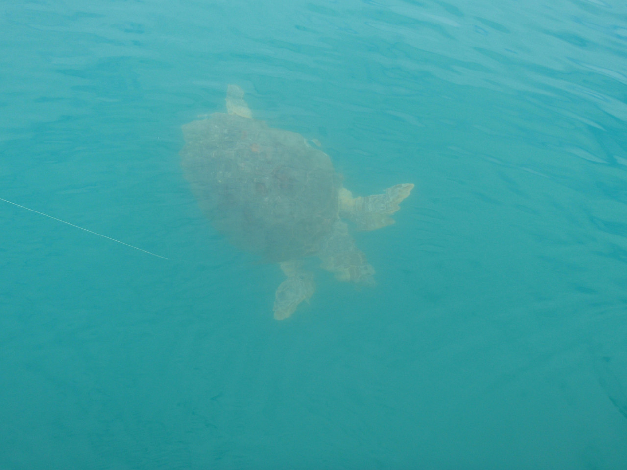 There were lots of turtles over the wrecks and in the deep holes. This is the one that Wes broke off.