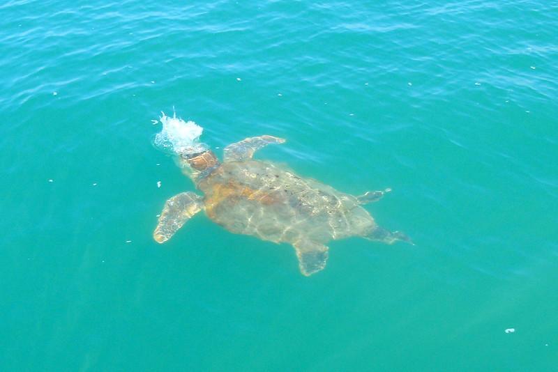 A turtle taking a gulp of air.