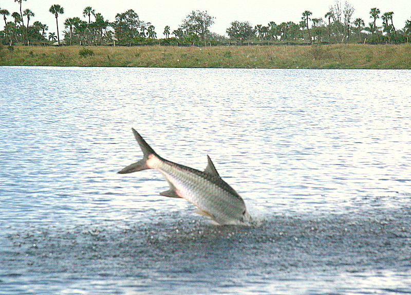 12/3/2006<br /> <br /> Wes Little and I did a day of fishing on the Creek in Marco Island.  This was the big one of the day.  It was about a 50 pounds tarpon taken on a live bait.  We never landed the fish.  It was a wild one.
