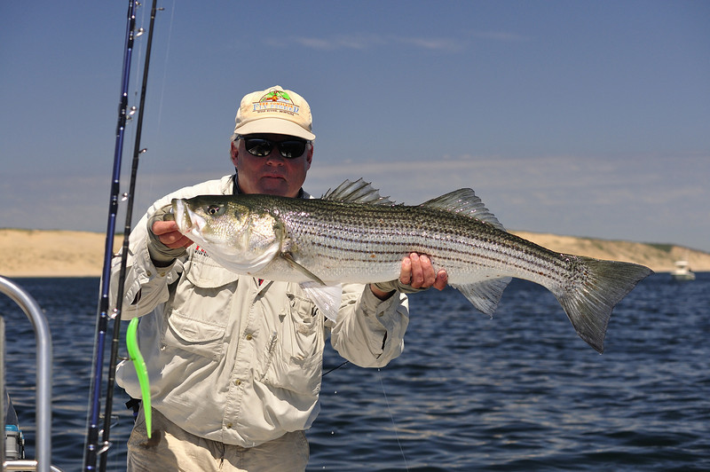 """This Bass was caught and released in June off Provincetown. It was caught on a  fly by David Decker of The Complete Fly fisher on my boat the """"Shallow Minded""""  <br /> <br /> - Doug Maclean"""