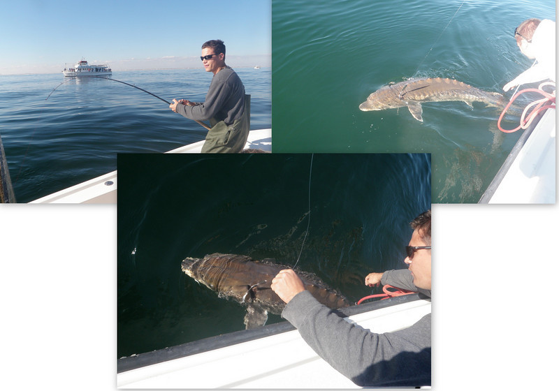 Date Caught: 11/3/2010<br /> <br /> Location: South of Ocean Beach<br /> <br /> Photo Description: My son Jake caught and released this huge Sturgeon that he snagged while jigging for Striped Bass on November 3rd south of Ocean Beach. He was on the rod for over 30 minutes and I'm sure he will be telling this fish story for many years to come.<br /> <br /> Jack Albanese