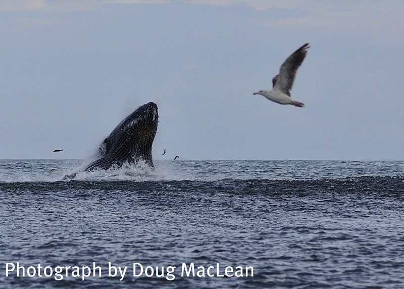 Doug MacLean sent this image in of a Humpback Whale feeding a on a school of Bunker during the hot Striped Bass bite back in July.