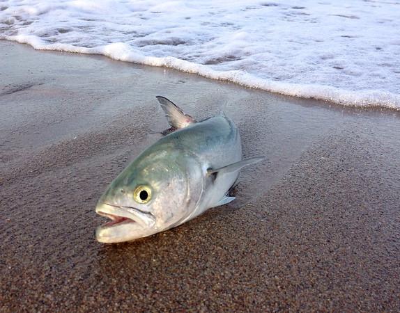 May bluefish