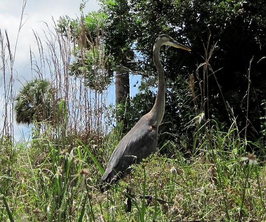 Loxahatchee River great blue heron