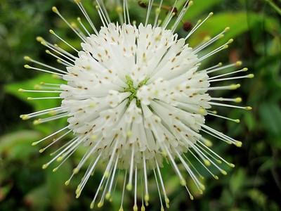 Loxahatchee River button bush flower